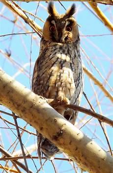 Gambar Burung Hantu Di Pohon Gambar Burung Wallpaper