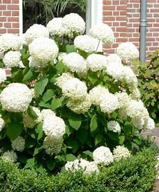 fiore a palla hortensia annabelle hortensia annabelle hydrangea