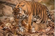 Ciri Ciri Harimau Sumatra Lengkap Dengan Gambarnya Nama
