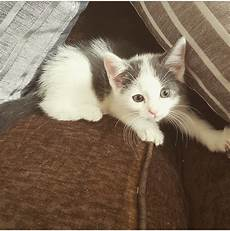 kittens for sale grey kittens for sale hereford herefordshire pets4homes