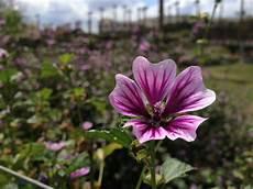 blume lila kostenloses foto zum thema blume garten lila