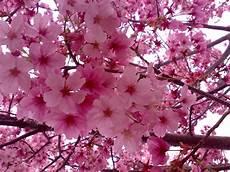 ca fiore pz c fiori di ciliegio