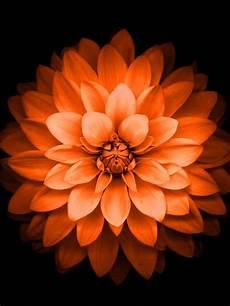 Orange Flowers Iphone Wallpaper by 768x1024 Iphone 6 Plus Orange Lotus Flower Retina
