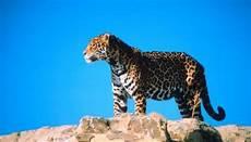 jaguar where do they live what do sonoran desert jaguars eat animals me
