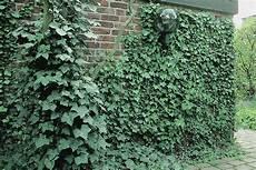 elpflanzen und hängepflanzen garten immergr 252 ne kletterpflanzen kletterpflanzen ratgeber