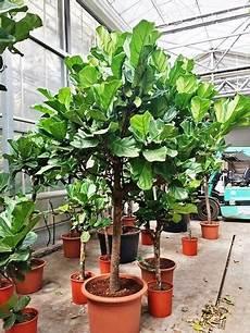 Ficus Lyrata Kaufen Alle Gr 246 223 En Pflanze Bis Hochstamm Baum
