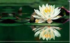 fiore di loto significato giapponese simbologia giapponese significato fiori simbologia