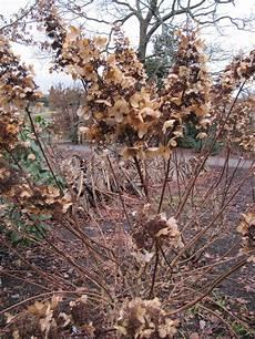 schneiden winter hortensien expertentipps zum pflanzen pflegen