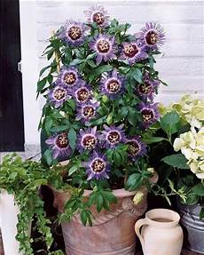 passiflore purple plante grimpante fleurs et jardins