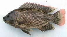 Sebelum Mendunia Ikan Mujair Pada Awalnya Bukan Ikan Air