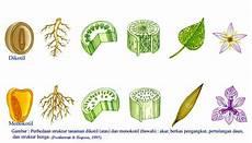 Tumbuhan Dikotil Dan Monokotil 171 Sdngundih S