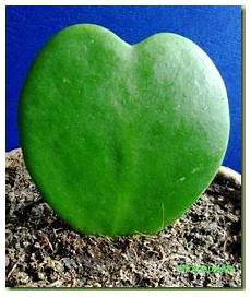 plante hoya kerrii pianta grassa a cuore hoya kerrii