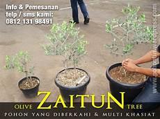 Pohon Zaitun Jual Pohon Tin 081213198491