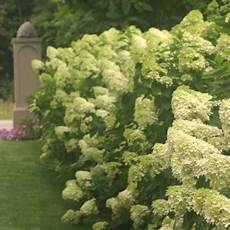 willowbend hydrangea p limelight tree pw