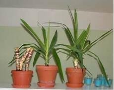 yucca palme zurückschneiden die besten 25 yucca palme ideen auf yucca