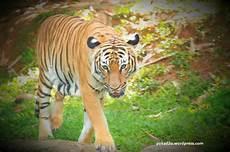 Gubuk Kecil Kembara Jalanan Harimau Malaya Jadi Jadian