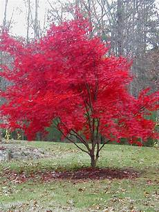 japanese maples bring color to fall local news