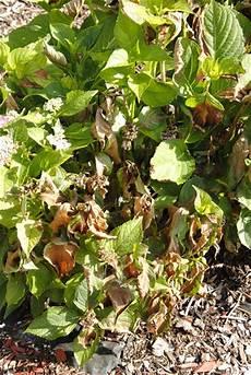 hortensien blätter werden braun was kann das sein pflanzenkrankheiten sch 228 dlinge