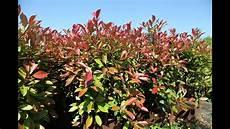 Photinia Fraseri Robin - photinia fraseri robin planteztop fr