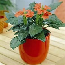 Zimmerpflanze Orange Blüte - crossandra pflanzen und pflegen mein sch 246 ner garten