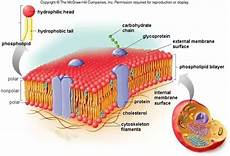what is the importance of the cell membrane quora