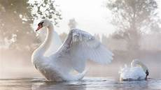 White Swan Bird Backgrounds