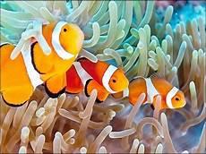 Gambar Ikan Badut Asli Dan Kartun Unik Cantik Serta Lucu