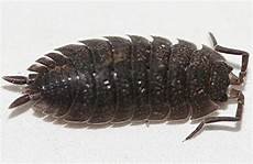 Assel Gt Porcellio Scaber Kellerassel Crustacea Asseln