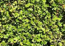 hecke immergrün ungiftig ungiftige heckenpflanzen f 252 r spielpl 228 tze kinderg 228 rten