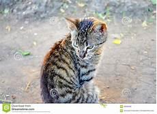 Malvorlage Gestreifte Katze Gestreifte Katze Stockfoto Bild 58685696