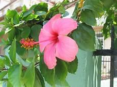 flor cayena del estado trujillo el bicentenario de barranquilla
