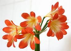amaryllis pflege standort gie 223 en 220 berwintern und