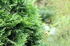 Top Thuja Baum Schneiden Ez89 Casaramonaacademy