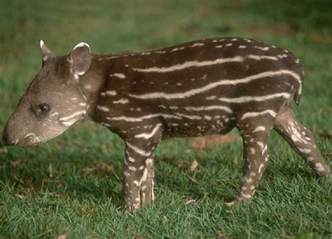 Animali Brasile