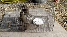 une martre peut tuer un chat rat dans le grenier