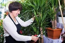 yucca palme zurückschneiden yucca palme abschneiden 187 so k 252 rzen sie die palmlilie