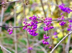 Strauch Mit Lila Beeren - purple berries name that plant