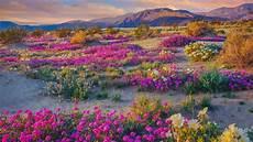 super bloom watch will the rare desert wildflower burst return in 2019