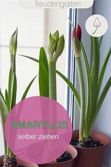 amaryllis selber ziehen amaryllis pflanzideen pflanzen