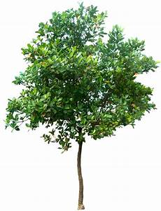 Transparent Background High Resolution Tree Png