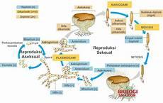 Jamur Ascomycota Struktur Tubuh Reproduksi Dan Contohnya