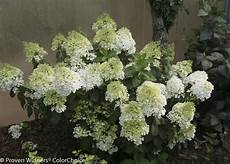 hydrangea paniculata bobo the plant for the