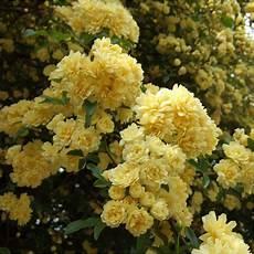 rosier liane sans epine rosa banksiae lutea rosier liane sans 233 pines jaune