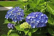 blumen für den schatten hortensie die pflanzen bevorzugen einen standort im