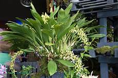 Paling Populer 16 Gambar Bunga Anggrek Hitam Kalimantan