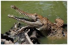 Gambar Buaya Di Kepulawan Indonesia Dunia Binatang