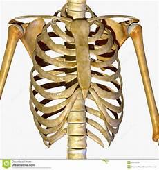 ossa della gabbia toracica gabbia toracica illustrazione di stock immagine 43014270