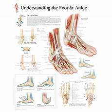 Anatomical Foot Diagram by Scientific Publishing Understanding The Foot Ankle Chart