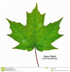 Sugar Maple Leaf Isolated Stock Photo Image 39634015