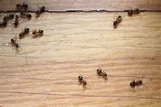 ameisen in der wohnung bekämpfen fliegende ameisen in haus und garten bek 228 mpfen